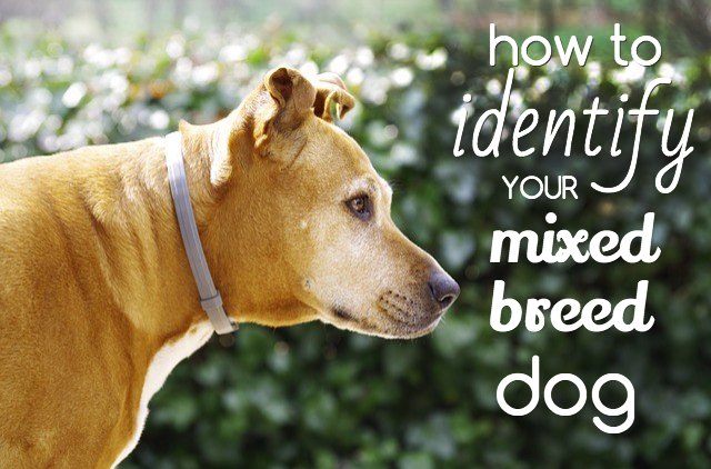 How To Identify Your Mixed Breed Dog